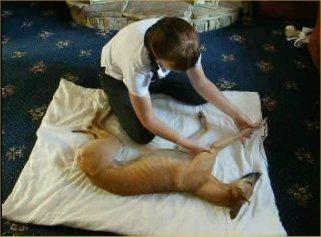 dog massage chiropractor