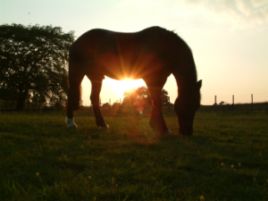 Horse chiropractor covering Surrey, Sussex and Kent